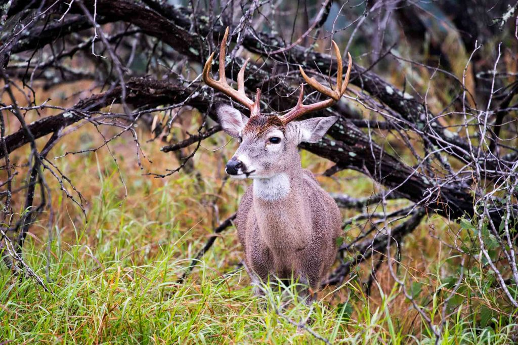 Mule Tail Stag at Choke Canyon State Park in Texas