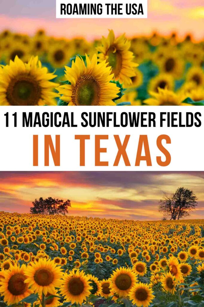 Magical Sunflower Fields in Texas  Pinterest Graphic