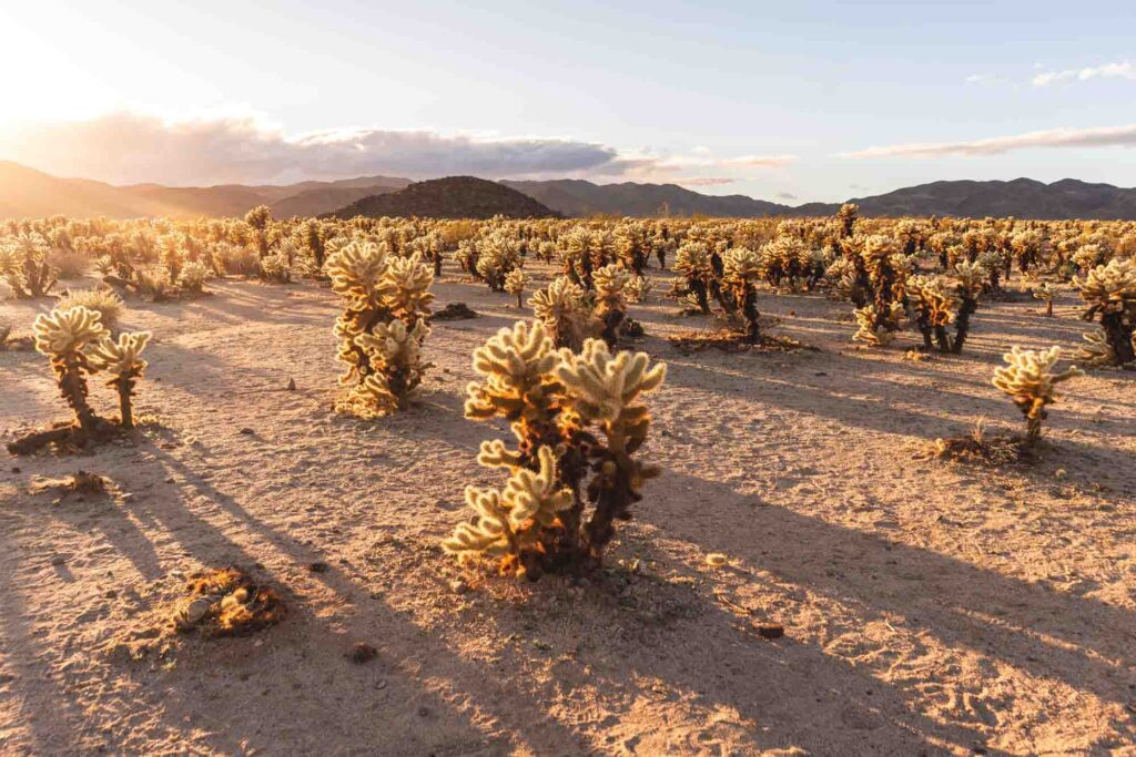 Cholla Cactus Garden is one of the best hikes in Joshua Tree National Park