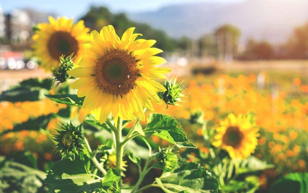 Maxwell's Pumpkin Farm is one of the beautiful sunflower fields in Texas