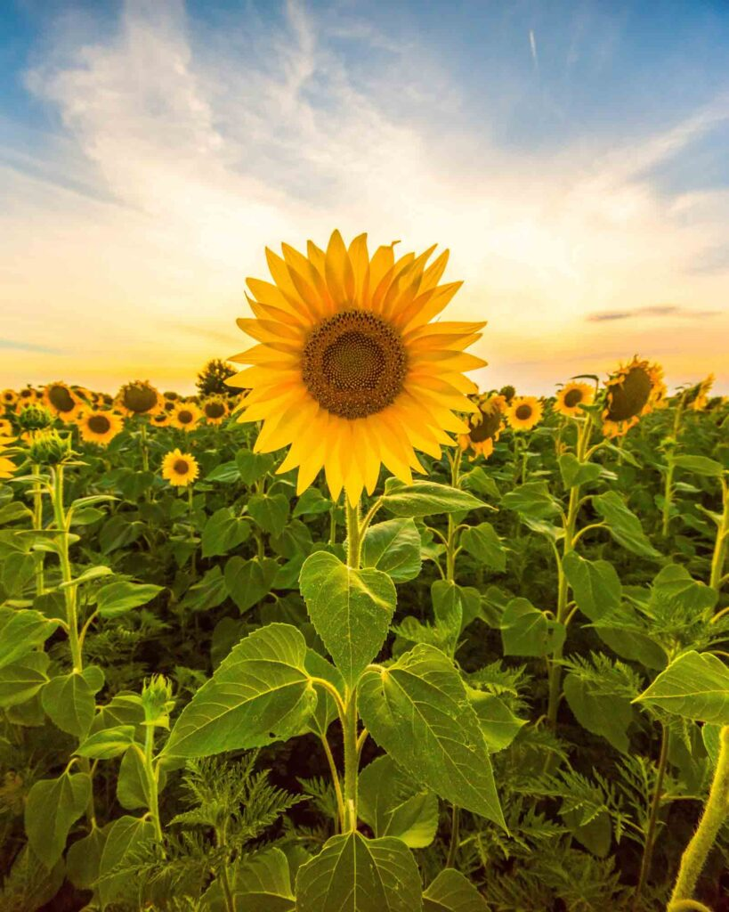 Lone Star Family Farm is one of the sunflower fields in Texas