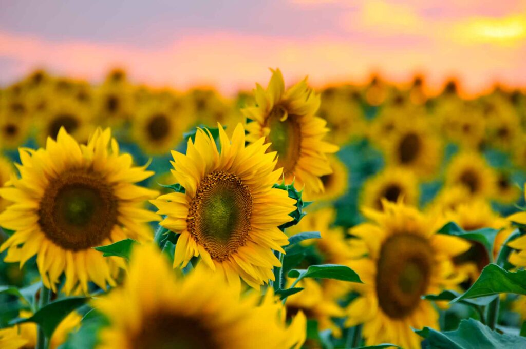 Robinson Family Farm is one of the best sunflower fields in Texas