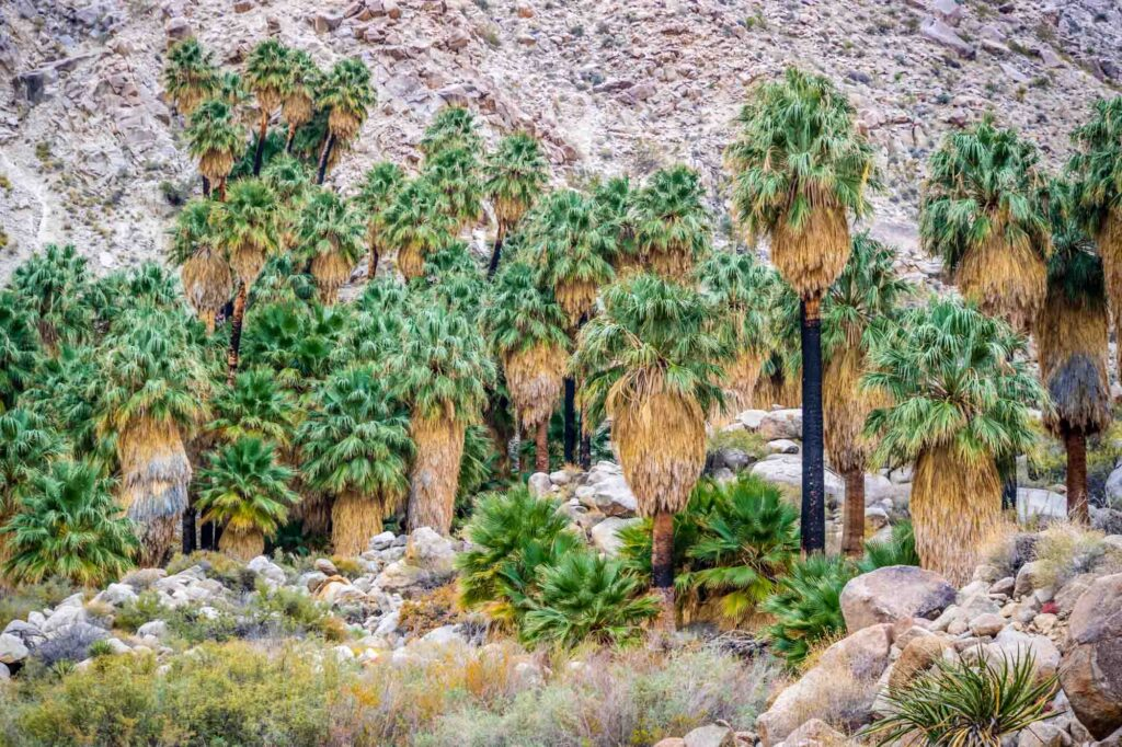 Fortynine Palms Oasis Trail is one of the best hikes in Joshua Tree National Park
