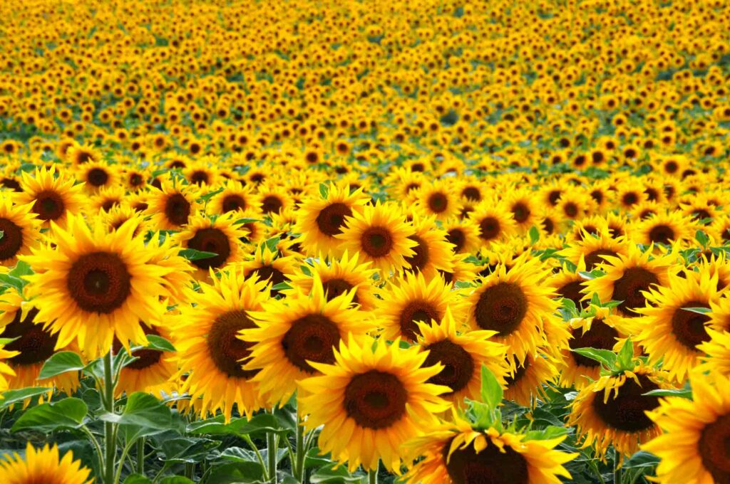 Dewberry Farm is one of the big sunflower fields in Texas to visit