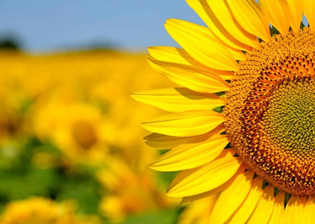 Wild Berry Farm is another beautiful sunflower field in Texas not to miss
