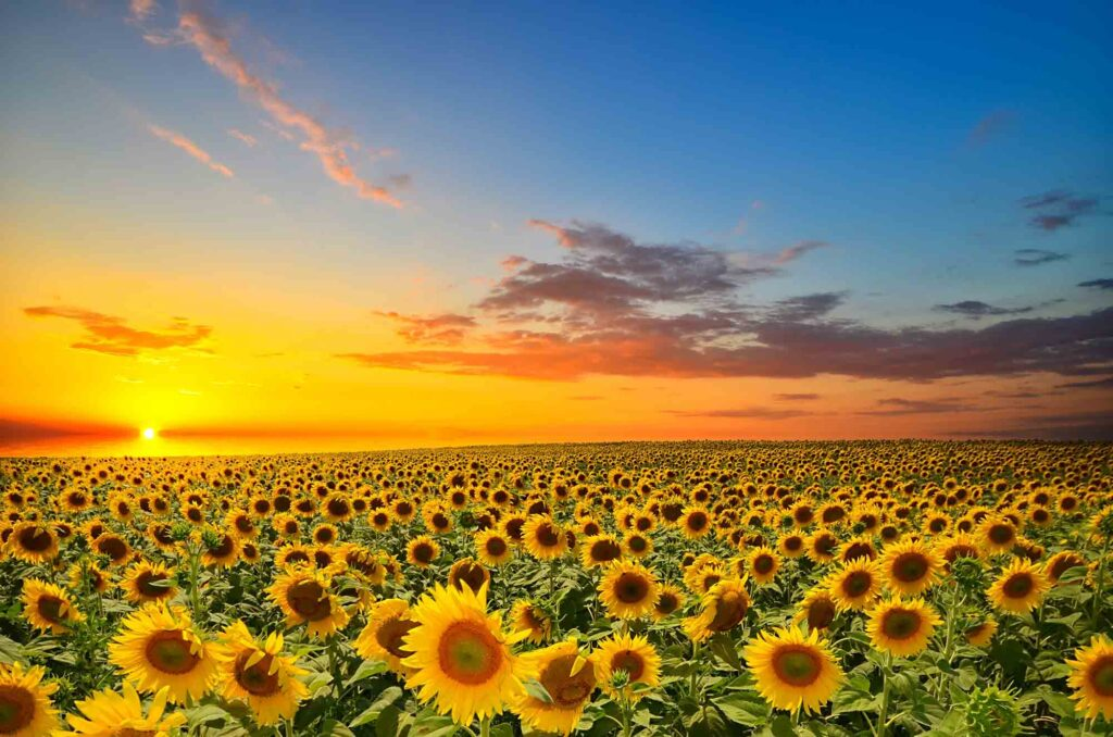 P-6 Farms is one of the best sunflower fields in Texas