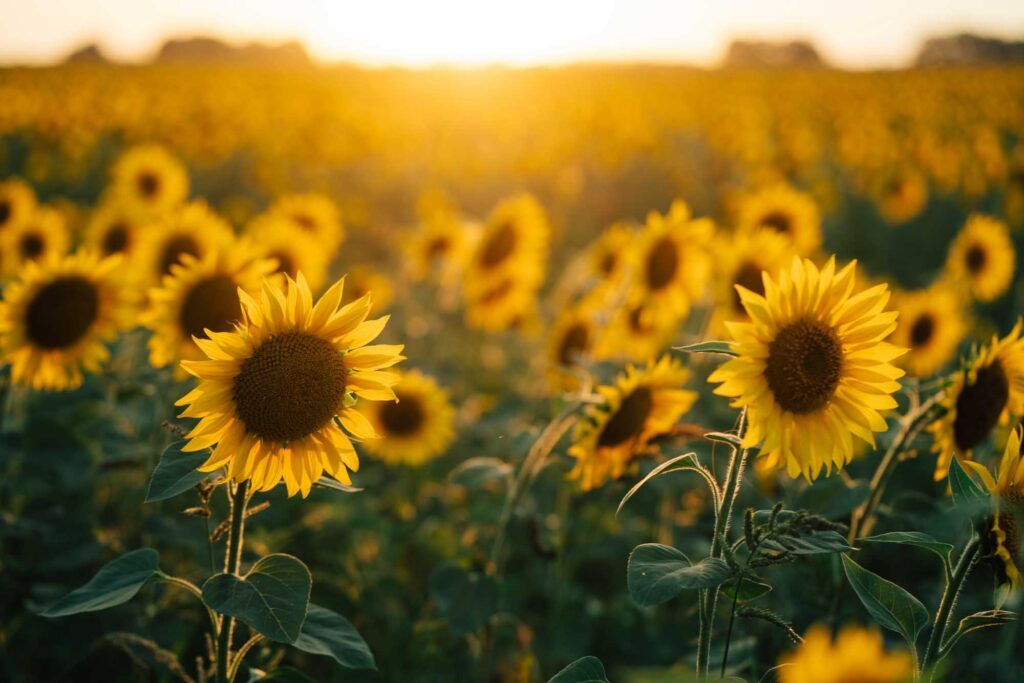 Mainstay Farm Park is one of the magical sunflower fields in Texas