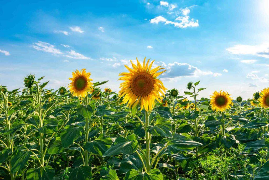 Yesterland Farm is one of the best sunflower fields in Texas