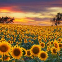 Wildseed Farms is one of the magical sunflower fields in Texas