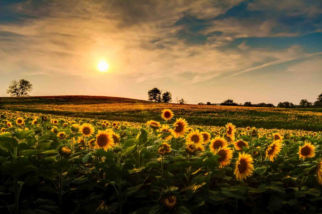 Froberg's Farm is one of the sunflower fields in Texas