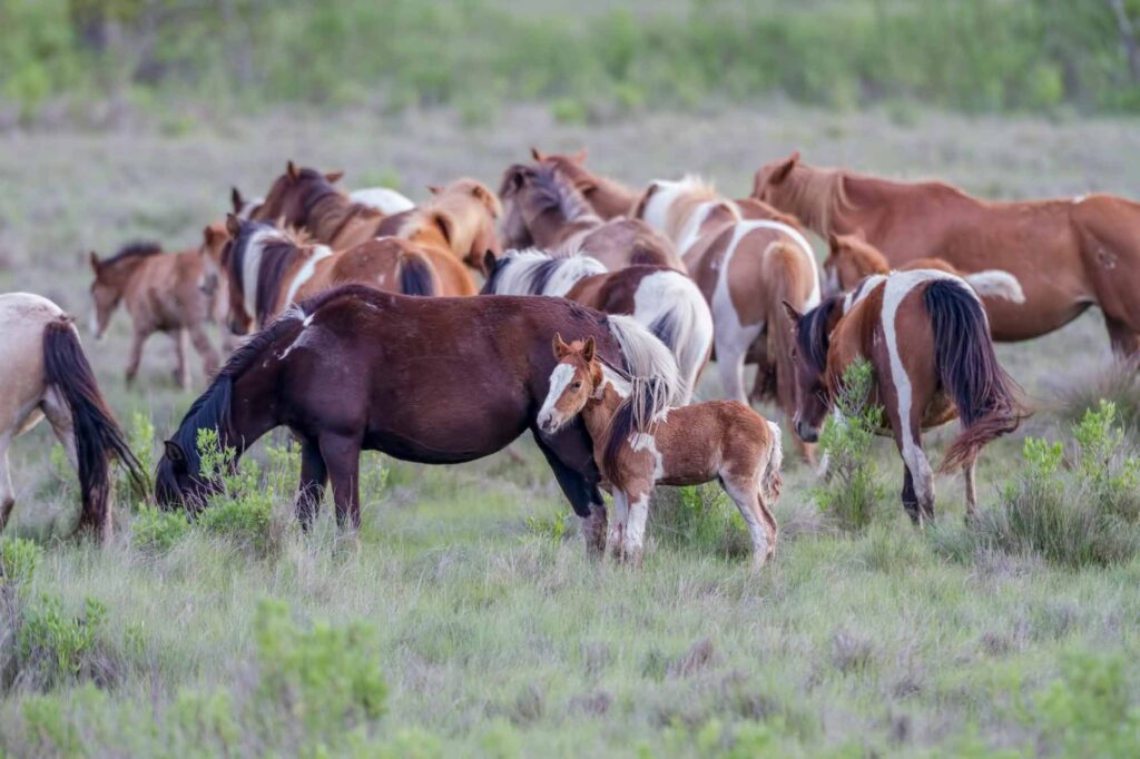 Assateague Island, Maryland & Virginia is one of the best summer vacations in the USA