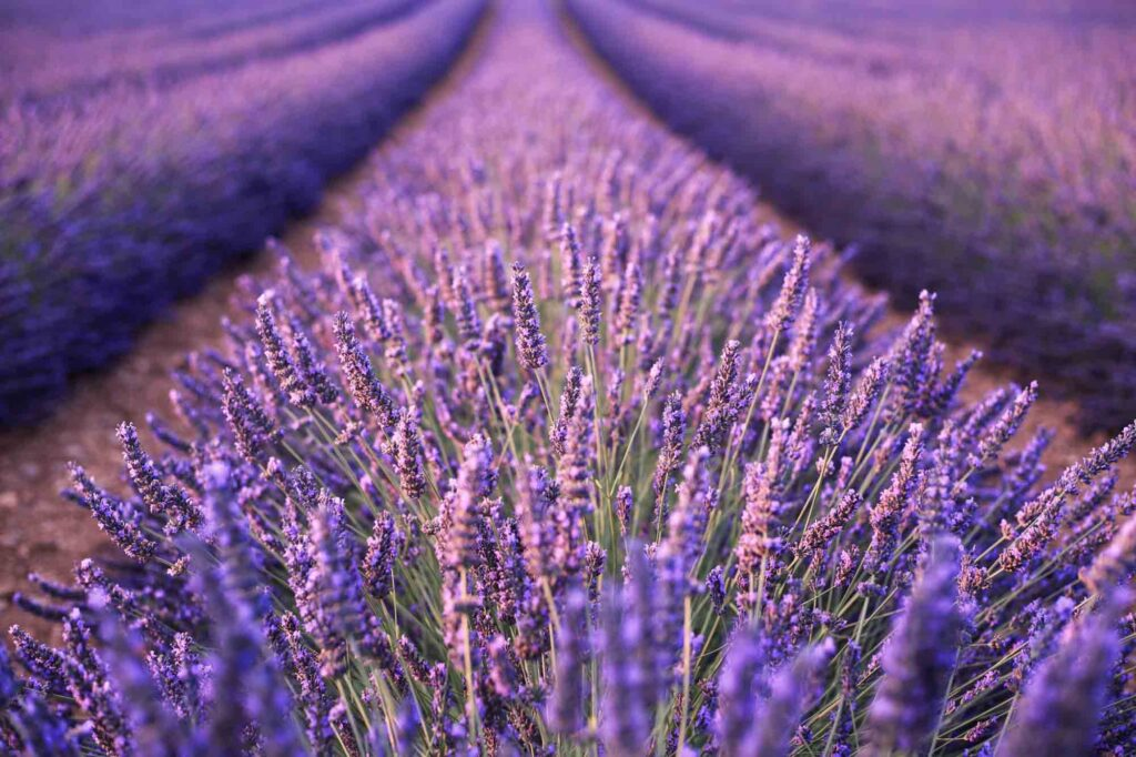 Visiting Creek Lavender Fields is one of the fun things to do in Wimberley, TX